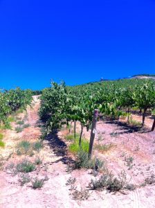 Red Willow Vineyard, Columbia Valley, Summer 2014