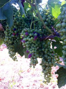 Veraison at our Estate Vineyard in Walla Walla